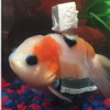 "Disabled Goldfish Gets Custom Underwater ""Wheelchair"""