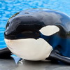 Why Are We Teaching Killer Whales To Speak English?