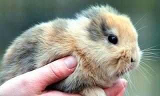 Kaninchen ohne Ohren ist tot