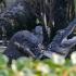 otter vs aligator_1.jpg