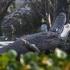 otter vs aligator_3.jpg