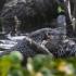 otter vs aligator_5.jpg