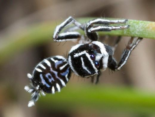 Peacock-spider-Maratus_sceletus-537x408.jpg
