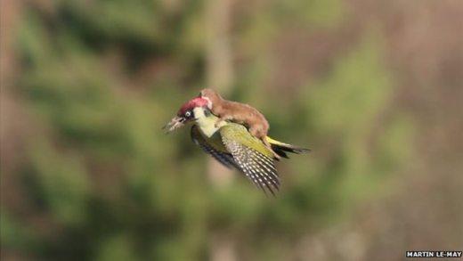 weasel-riding-woodpecker.jpg