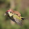 Weasels Prefer Woodpeckers Over Uber in The Wild