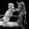 Lolcats Through The Ages: 1937 - Cat Boxing