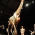 A-plastinated-giraffe-010.jpg