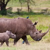 New Hope For The Nearly Extinct Northern White Rhino