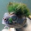 Green-Mohwaked Turtle Who Breathes Through Genitals Is Now Endangered