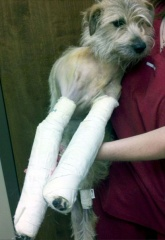 amazing-puppy-walks-home-after-tornado-on-2-broken-legs.jpg