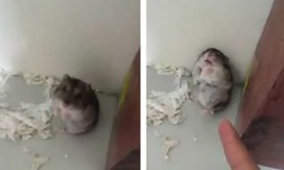 the-adorable-hamster-that-knows-how-to-play-dead_feat.jpg