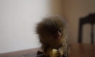 pygmy marmoset eating macaroni_feat.jpg
