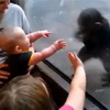 Awww - Human Baby And Chimp Baby Play At The Zoo