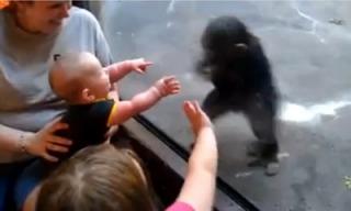 baby_vs_chimp_feat.jpg