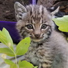 Man Mistakes Bobcat Cub For Stray Kitten