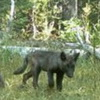 Gray Wolves Spotted for the First Time in California in Nearly One Hundred Years