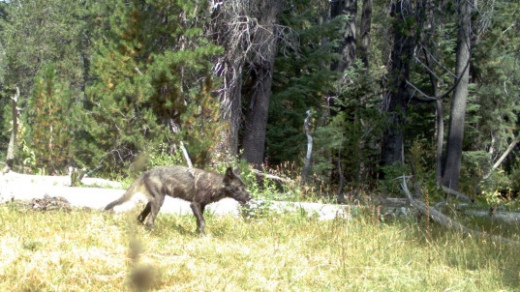 California-Gray-Wolf-537x302.jpg