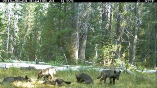 California-Gray-Wolf-Pack-537x302.jpg