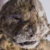 50,000-Year-Old Frozen Lion Cub Could Be Used For Cloning