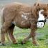 koda_dwarf_pony-3.jpg