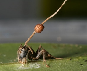 death_grip_fungus_ant.jpg