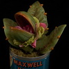 Awesome Audrey II Replica Perfect For Any Little Shop of Horrors Fan
