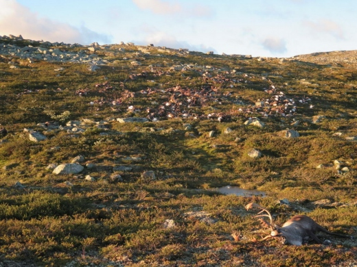 Reindeer-Killed-in-Norway-by-Lightning-889x667.jpg