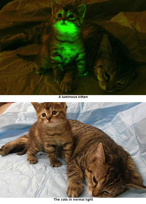 Glow-In-The-Dark Cats Created To Combat And Find A Cure ...