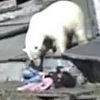 Polar Bear Attacks Woman/ Pulls Down Her Pants. Just an Average Day In Russia