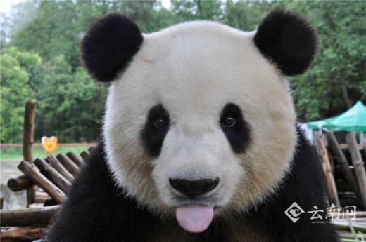 happy_giant_panda.jpg