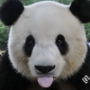 Giant Pandas Removed From Endangered Species List
