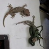Hopeless Gecko Attacked By Snake… Wait! Gecko To The Rescue!
