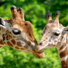 World Giraffe Populations Have Dropped 50% in The Last 10 Years