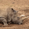 Another Northern White Rhino has Died. Only 2 More Exist in The World