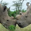 There are Now Only Five Northern White Rhinos left in the World
