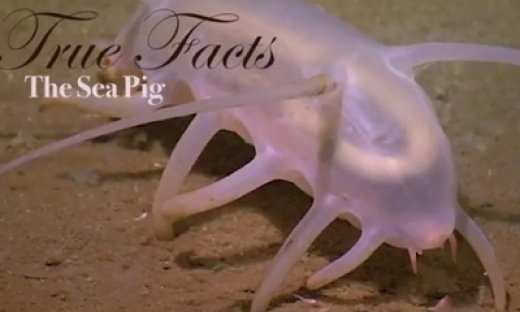 True-Facts-Sea-Pig_feat.jpg