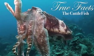 true facts about the cuttlefish_feat.jpg