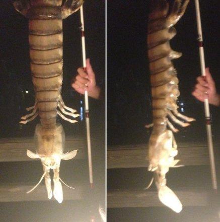 giant-mantis-shrimp.jpg