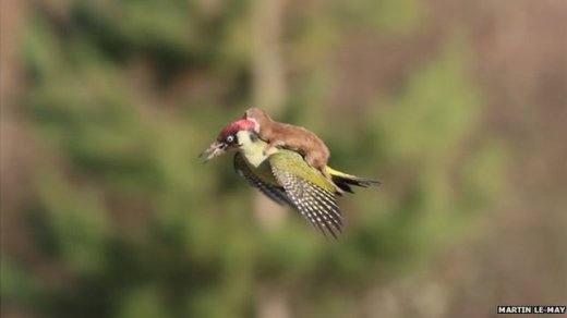 weasel-riding-woodpecker.jpg