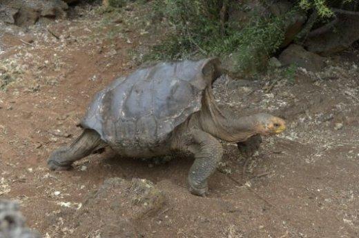 horny_tortoise.jpg