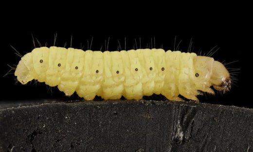 wax-worm-01-889x534.jpg